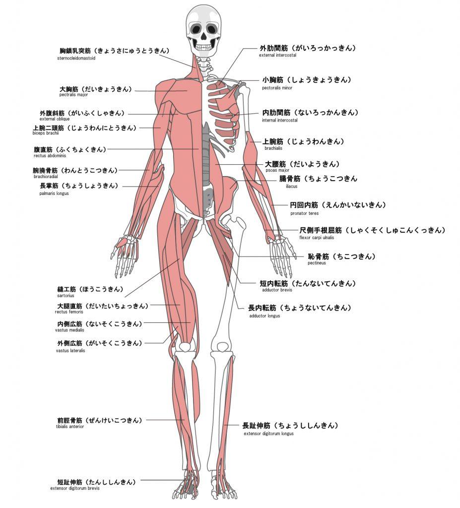 筋肉図(前)
