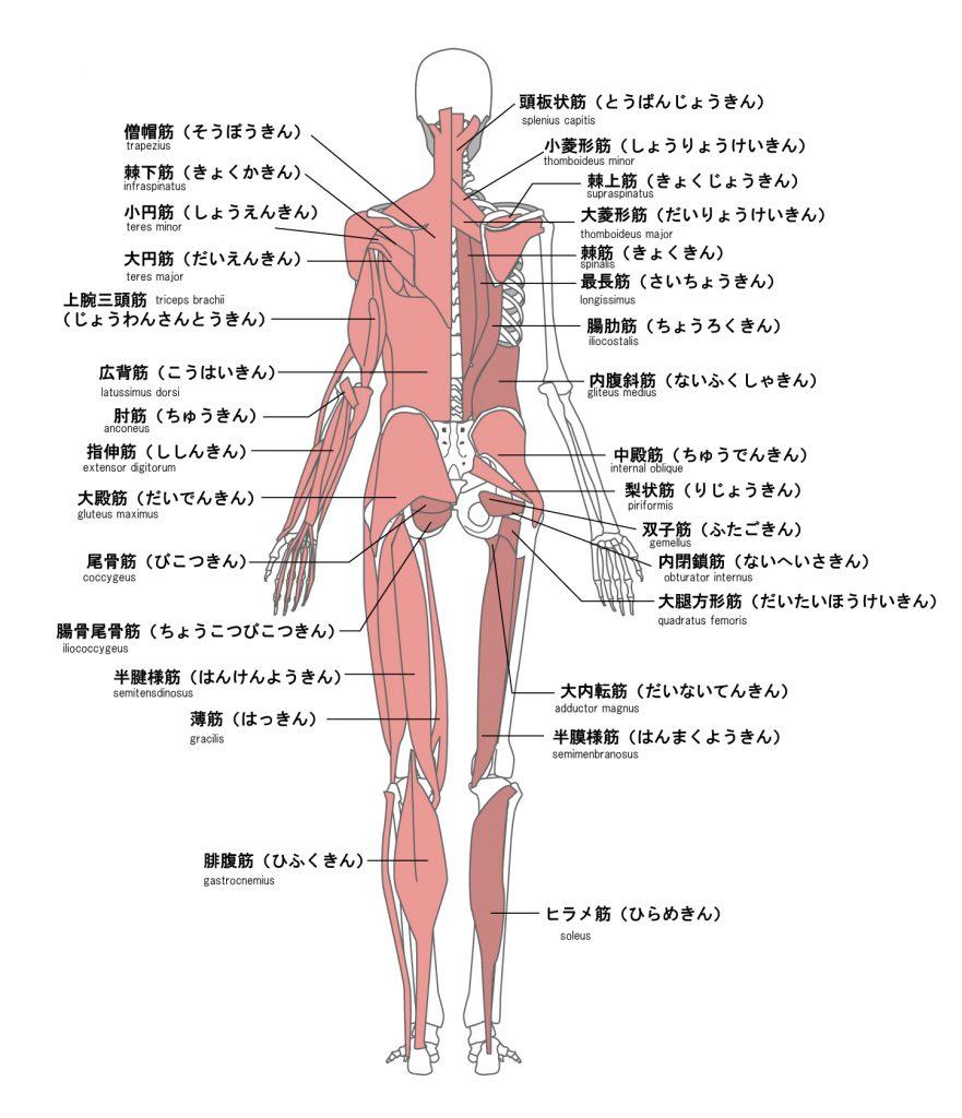 筋肉図(後)